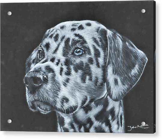 Dalmation Portrait Acrylic Print