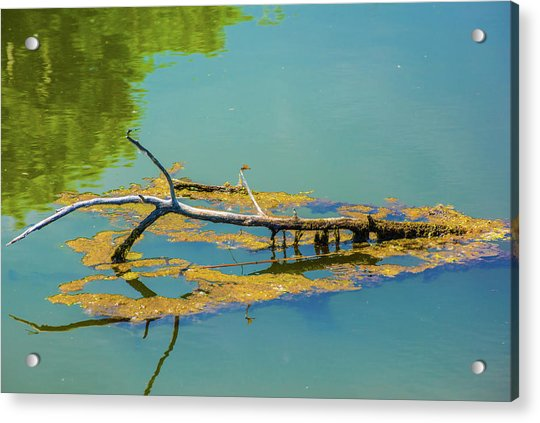 Damselfly On A Lake Acrylic Print