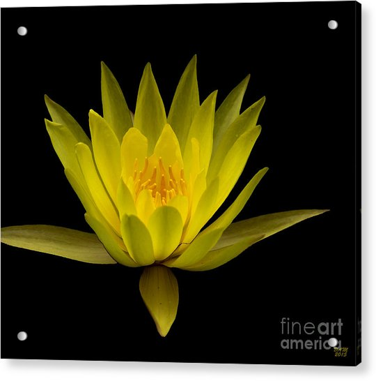 Dancing Yellow Lotus Acrylic Print
