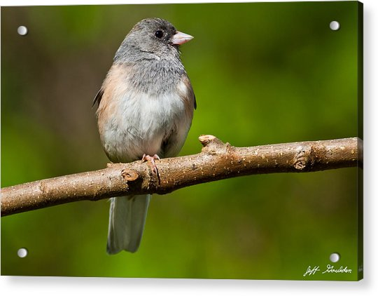 Dark Eyed Junco Perched On A Branch Acrylic Print