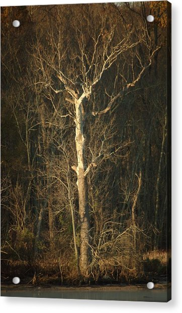Day Break Tree Acrylic Print