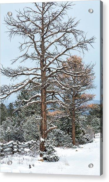 Dead Ponderosa Pines In Winter Acrylic Print