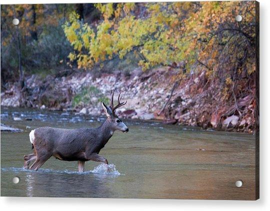 Deer Crossing River Acrylic Print