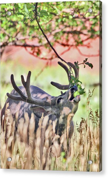 Deer In The Orchard Acrylic Print