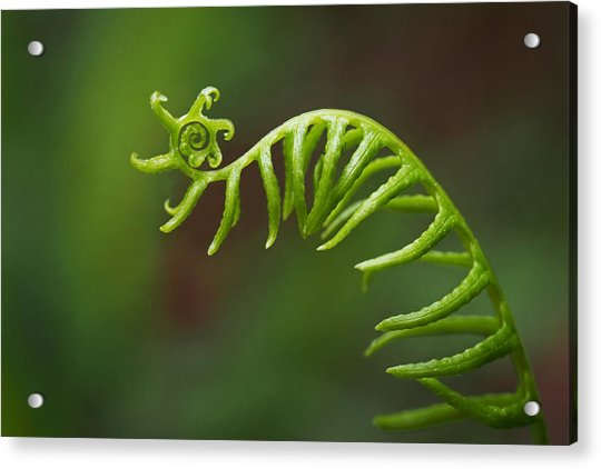 Acrylic Print featuring the photograph Delicate Fern Frond Spiral by Rona Black