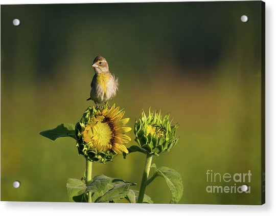 Dickcissel Sunflower Acrylic Print