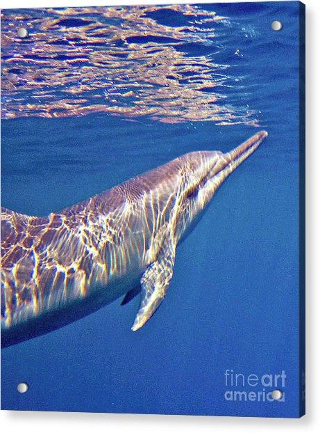 Dolphin Reflections Acrylic Print