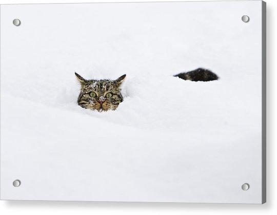 Domestic Cat Felis Catus In Deep Snow Acrylic Print