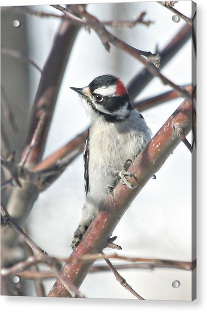 Downy Woodpecker In An Apple Tree Acrylic Print by Laurie With