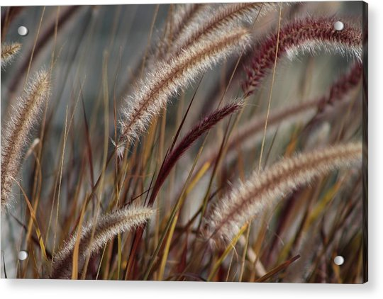 Dried Desert Grass Plumes In Honey Brown Acrylic Print