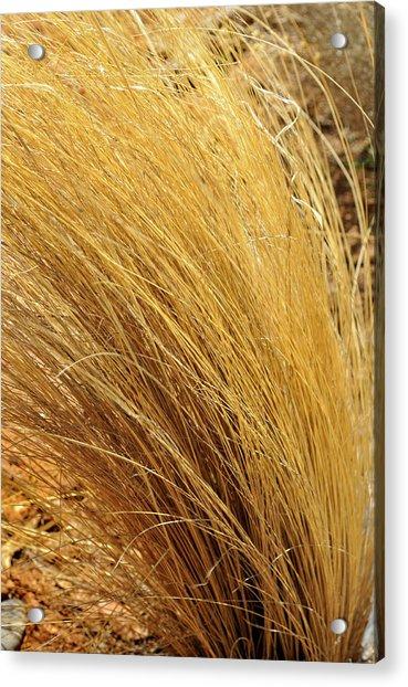 Dried Grass Acrylic Print