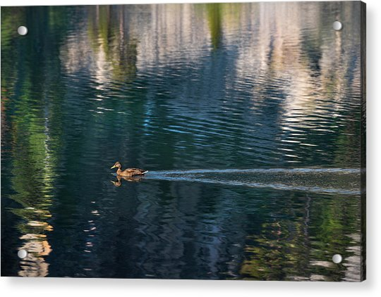 Duck Waves Acrylic Print