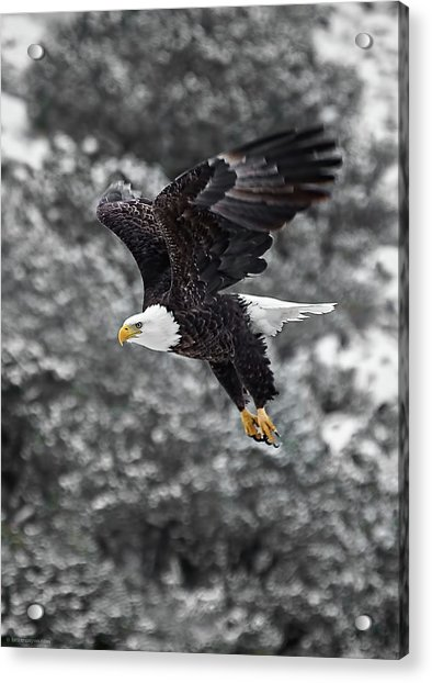Eagle In Flight Acrylic Print
