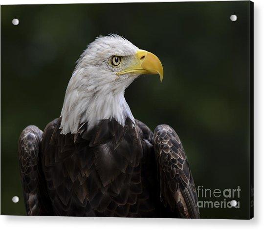 Eagle Profile 2 Acrylic Print