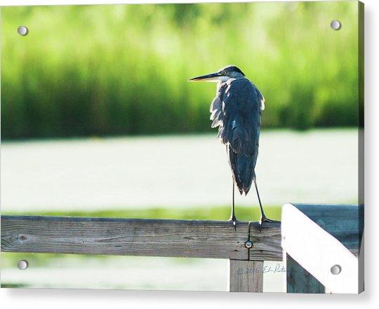 Early Morning Great Blue Heron Acrylic Print