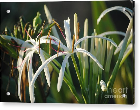 Early Morning Lily Acrylic Print
