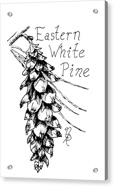 Eastern White Pine Cone On A Branch Acrylic Print