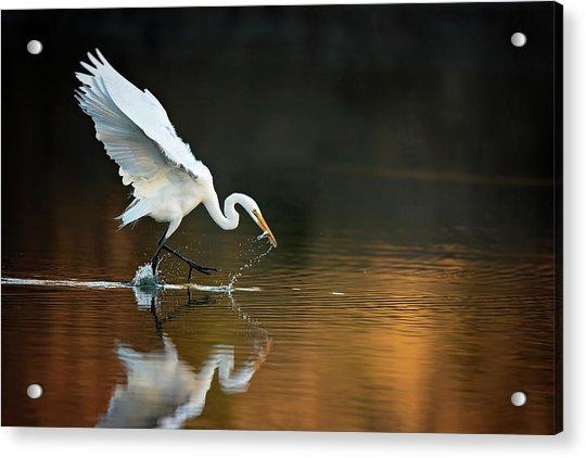 Egret At Sunset Acrylic Print