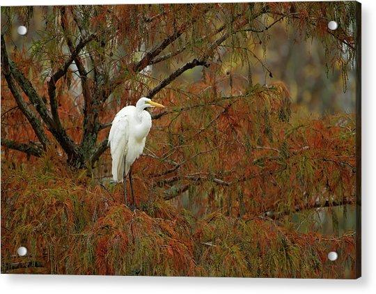 Egret In Autumn Acrylic Print
