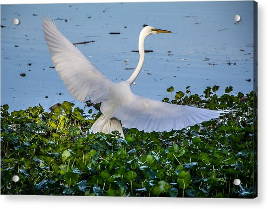 Egret With Wings Spread Acrylic Print
