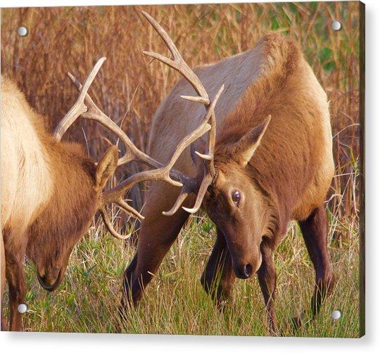 Elk Tussle Acrylic Print