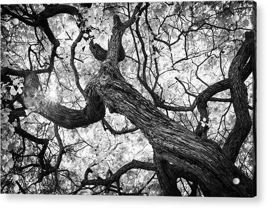 Ethereal Maple Acrylic Print