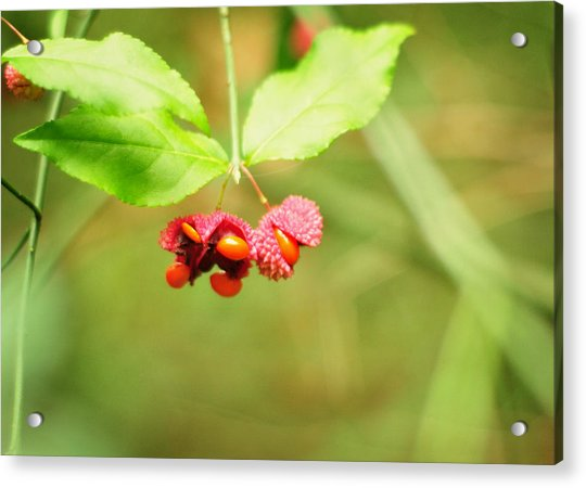 Euonymus Americanus  American Strawberry Bush Acrylic Print