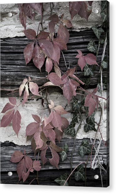Fall Ivy Acrylic Print