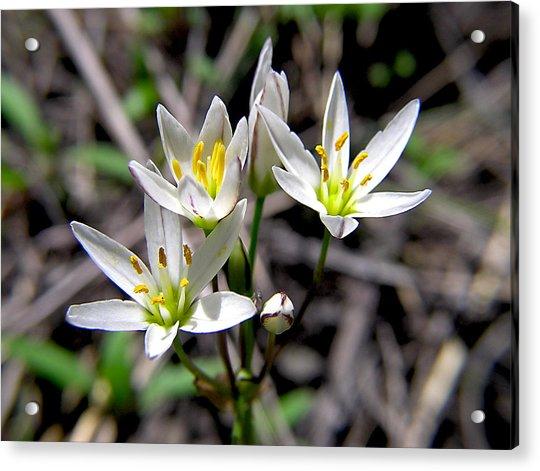 False Garlic Wild Flower Acrylic Print