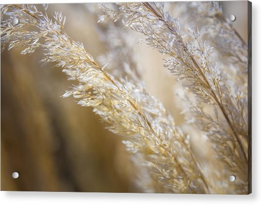 Feathered Acrylic Print