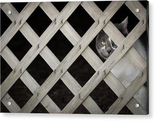 Feline Fence Acrylic Print