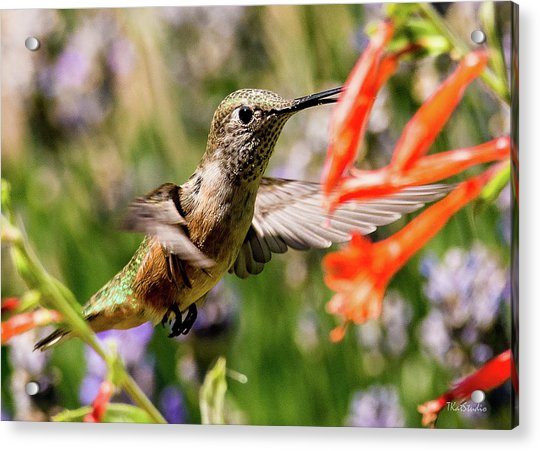 Female Broadtail Humingbird Acrylic Print