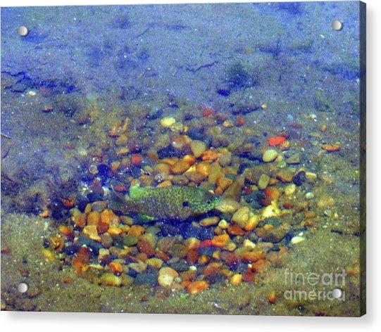 Fish Spawning Acrylic Print