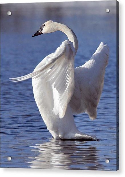Flapping Swan Acrylic Print