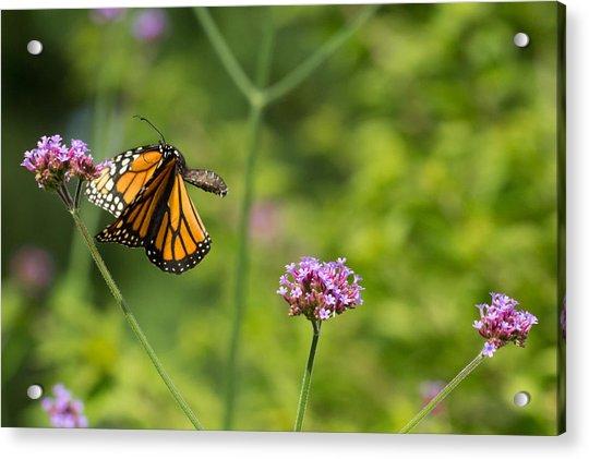 Flight Of The Monarch 2 Acrylic Print