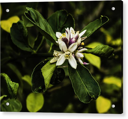 Flower Of The Lemon Tree Acrylic Print
