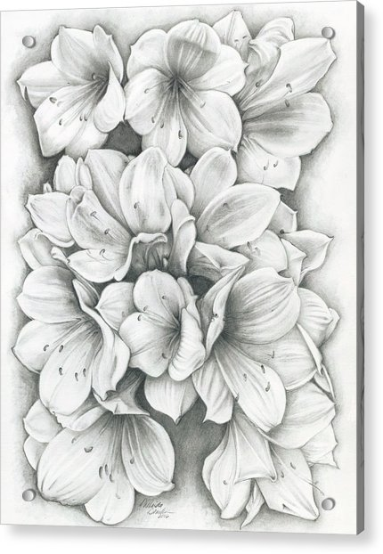 Clivia Flowers Pencil Acrylic Print