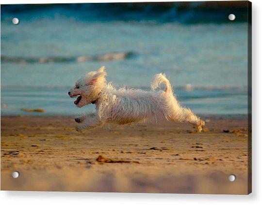 Flying Dog Acrylic Print