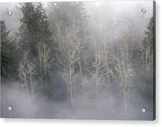 Foggy Alders In The Forest Acrylic Print