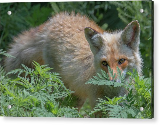 Fox In The Ferns Acrylic Print