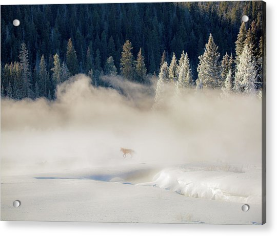 Fox In The Mist // Yellowstone National Park  Acrylic Print