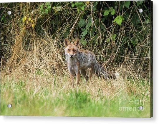 Fox In The Woods Acrylic Print
