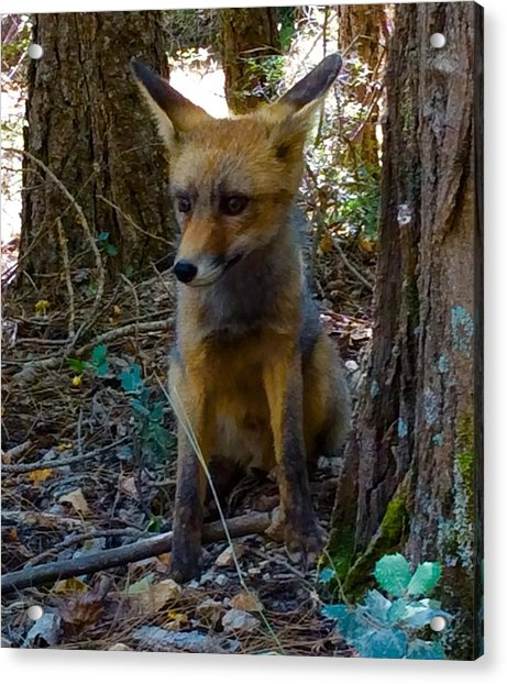 Acrylic Print featuring the photograph Fox Joy  by Colette V Hera Guggenheim