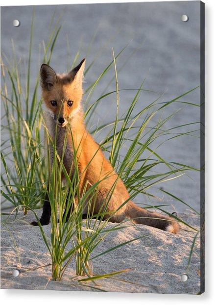 Fox Kit Portrait Acrylic Print