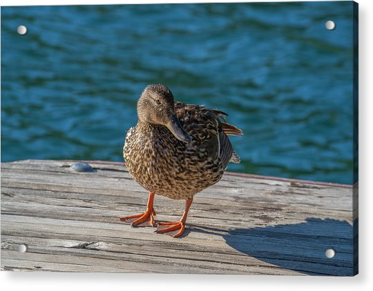 Friendly Duck Acrylic Print