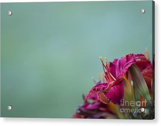Fuchsia In Bloom Acrylic Print