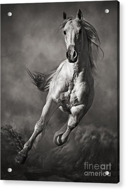 Galloping White Horse In Dust Acrylic Print