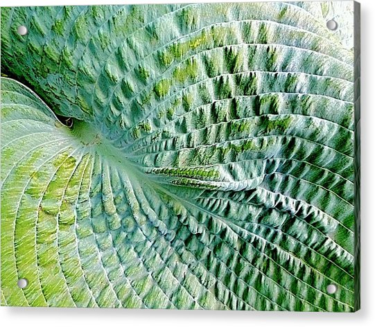 Gator Hosta Acrylic Print