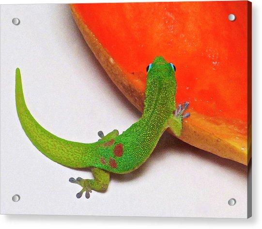 Gecko Eating Papaya Acrylic Print