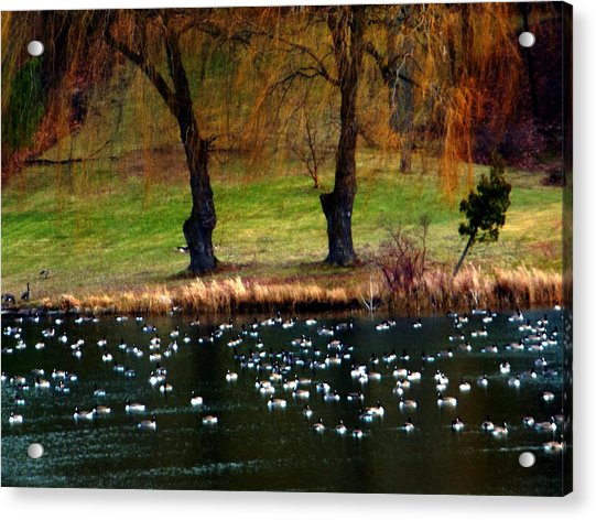 Geese Weeping Willows Acrylic Print